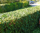 Hedge trimming company in Pontefract